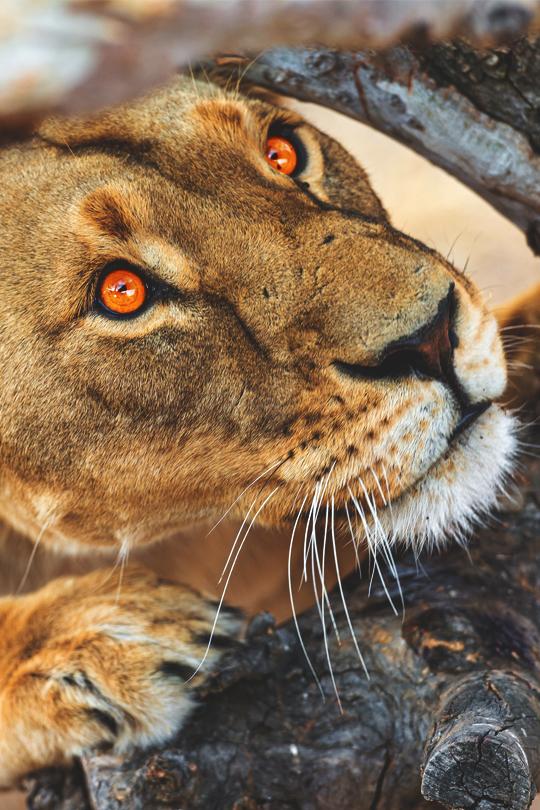 lion famille (2)